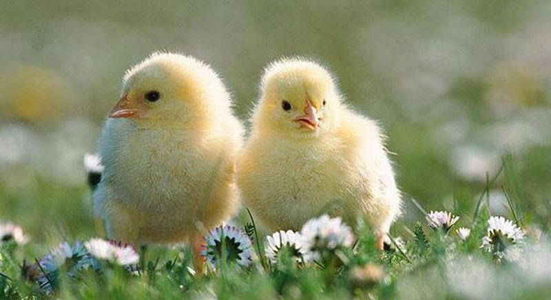 Easter chics